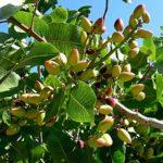 Il pistacchio – Proprietà e benefici per salute e nutrizione